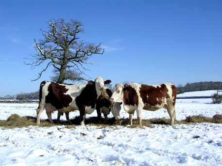 Dry-cows-in-snow